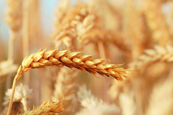 The genome of wild emmer wheat is one of the most complex sequences in nature.